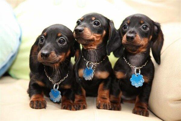 cachorros perro salchicha daschund
